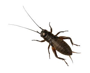 Black Crickets, Med/Small (Bag of 1000)