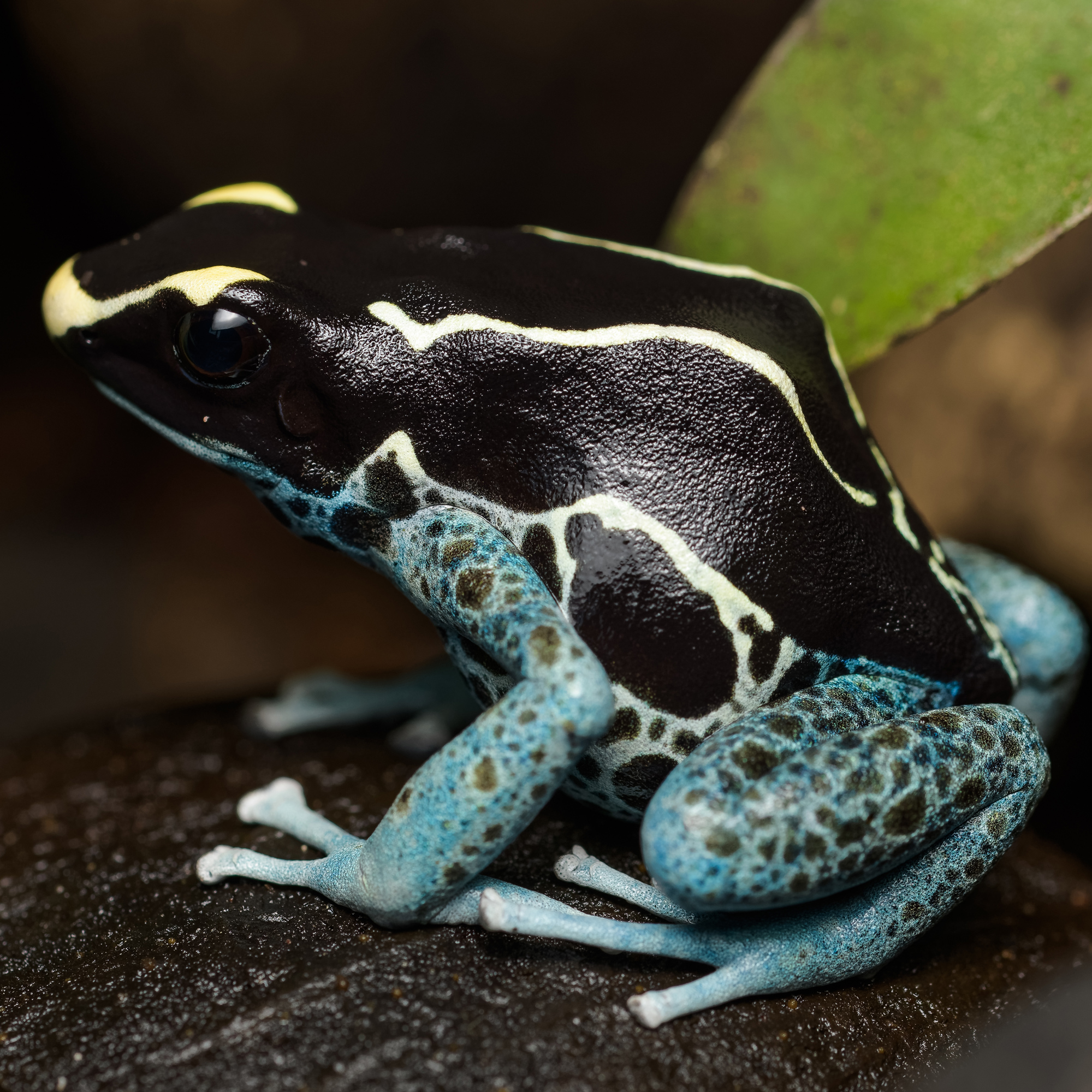 CB Dyeing Poison Arrow frog