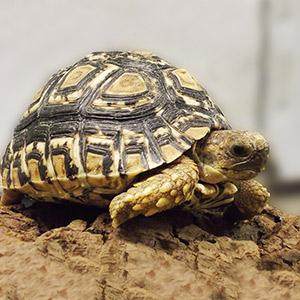 CB18 Leopard Tortoise