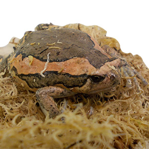 WC Chubby Bullfrog