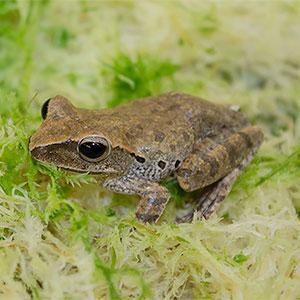 WC Gold Treefrog