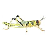 Locust pre-pack, Extra-Large