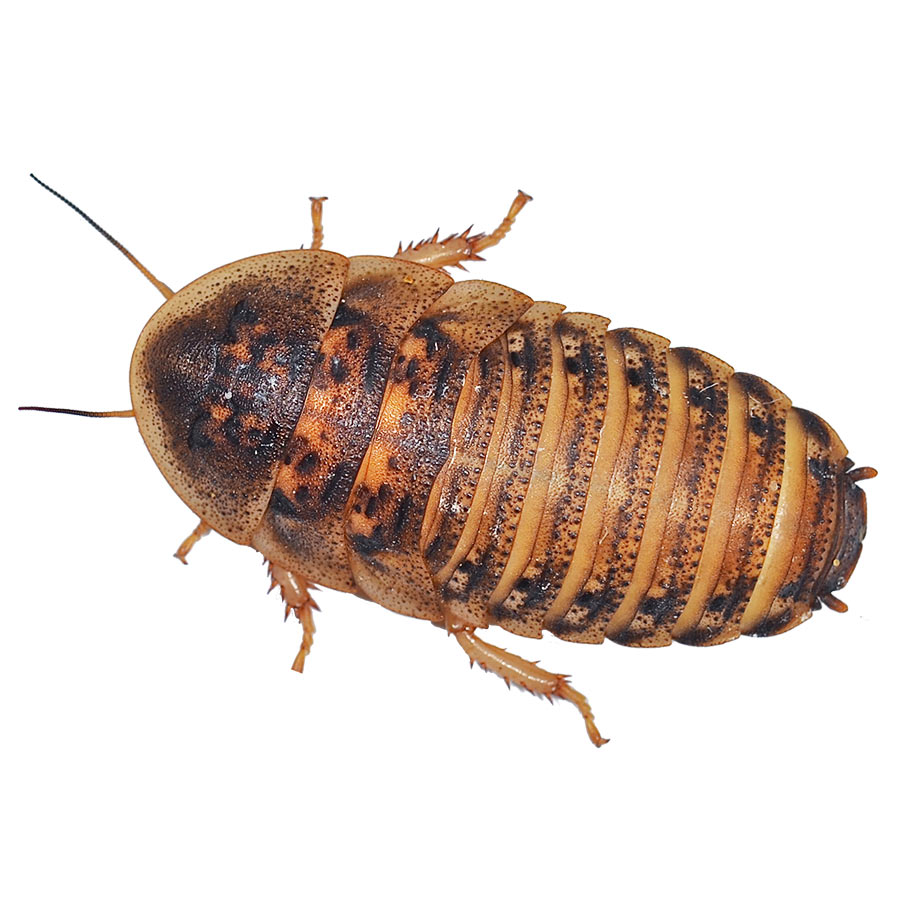 Dubia Cockroaches pre-pack, Medium