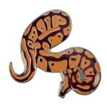 Blue Bug Pin Badge, Python