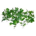 LR Grape Leaf Vine, LP-73