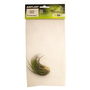 PR Airplant Medium Ionantha scaposa