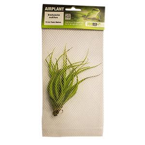 PR Airplant Med Brachycaulos multiflora