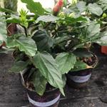 PR Live plant. Hibiscus Rosa Sinensis