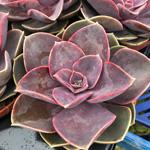PR Live plant. Echeveria setosa (8.5cm pot)