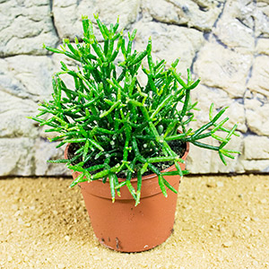 PR Live plant. Hatiora salicorniodes (10cm pot)