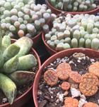 PR Live plant. Lithops (10cm pot)
