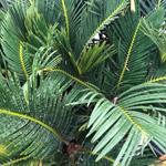 PR Live Plant: Sago Palm