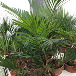 PR Live Plant. Sago Palm (Small)