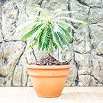PR Live plant. Biophytum sensitivum (5.5cm pot)