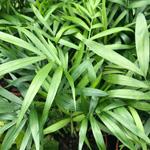 PR Live plant. Chamaedorea elegans (5cm pot)