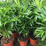 PR Live plant. Parlour Palm (Medium)