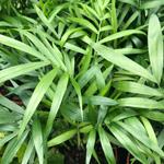 PR Live plant. Chamaedorea elegans (12cm pot)