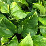 PR Live plant. Epipremnum aureum (6cm pot)