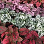 PR Live plant. Fittonia mix (Medium)