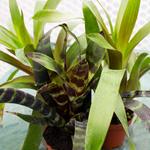PR Live plant. Bromeliad Lrg Various (No flower)