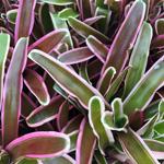 PR Live plant. Nidularium (12 or 15cm pot)