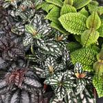 PR Live plant. Pilea sp. (mixed variety) (6cm pot)