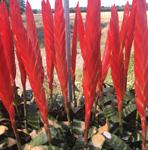 PR Live plant. Vriesea era (12cm)