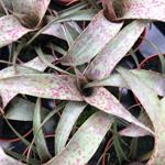 PR Live plant. Vriesea saundersii (5.5cm pot)
