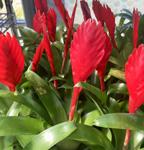 PR Live Plant: Vriesea Christiane (5cm)