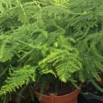 PR Live Plant Asparagus Fern (12cm Pot)