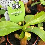 PR Live plant. Nepenthes alata  (8cm pot)