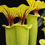 PR Live plant. Sarracenia Sp.(8.5cm pot)