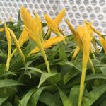 PR Live Plant. Yellow Spike Bromeliad (Small)