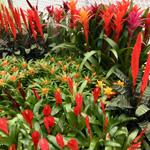 PR Live Plant. Bromeliad Collection (20 PLANTS)