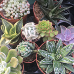 PR Live Plant  Mini Arid Collection (6 assorted)
