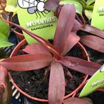 PR Live Plant. Mini Carnivorous collection (x6)