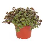 PR Live Food Plant; Callisia Repens 10cm pot