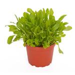 PR Live Food Plant; Dandelion 10cm pot