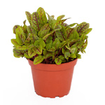 PR Live Food Plant; Red Sorrel -RedPixie 10cm pot