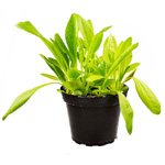 PR Live Food Plant; Plantain (Assorted) 10cm pot