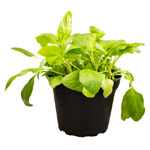 PR Live Food Plant; Selfheal (Prunella vulg) 10cm