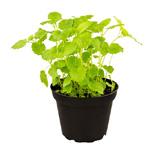 PR Live Food Plant; Lemon Balm 10cm pot