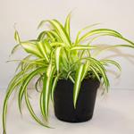 PR Live Food Plant; Chlorophytum 10cm pot