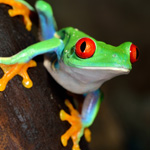 CB Red Eye Tree Frog