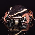 CB Spot-Legged Poison Arrow Frog