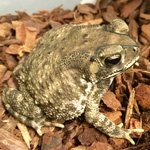 WC Asian Common Toad