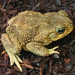 WC Cane Toad