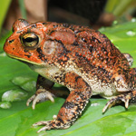 WC Southern Toad