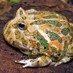 CB Green Horned Frog