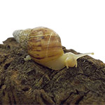 CB WHITE JADE Giant African Land Snail